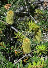 Banksia, Grampians National Park, Victoria, Australia (RonParsonsflowershots) Tags: banksia grampiansnationalpark victoria australia