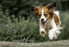 Love Life (charley496) Tags: kooiker kooikerhondje d500 nikon nikkor 200500mm glad happy sun sunny eyes puppy
