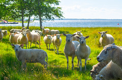 May I have your attention, please? (RdeUppsala) Tags: får sheep ovejas gräsö kust costa coast baltic báltico mar sea sverige suecia sweden uppland ricardofeinstein isla island paisaje vatten agua verano summer sommar naturaleza nature natur landscape landskap östersjön animal djur landet countryside campo