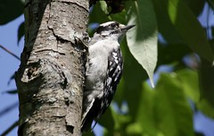 Downy (Diane Marshman) Tags: male downy woodpecker small black white feathers spots face stripes red head tree northeast pa pennsylvania nature wildlife