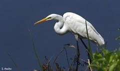 Great Egret (Suzanham) Tags: greategret bird wadingbird egret commonegret white plumage nature wildlife wetlands mississippi noxubeewildliferefuge grass reeds