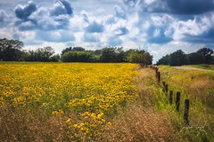 Black-eyed Susans (Justin Loyd Photography) Tags: ngc warm sunny beautiful 70200f28 canon5dmarkiv canon country rural landscape midwest iowa july clouds sun coneflowers blackeyedsusans wildflowers summer