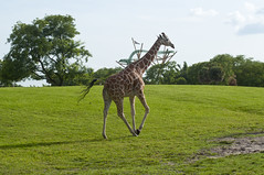 Reticulated Giraffe (Giraffa camelopardalis reticulata) (fisherbray) Tags: fisherbray usa unitedstates florida hillsboroughcounty tampa cigarcity thebigguava buschgardens themepark zoo tierpark buschgardenstampa nikon d5000 reticulatedgiraffe giraffacamelopardalisreticulata somaligiraffe giraffe serengetiplain
