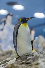 King penguin (Tambako the Jaguar) Tags: king penguin bird staning portrait ice rock posing loroparque tenerife spain nikon d850