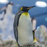 King penguin thumbnail