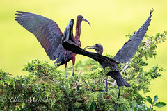 Glossy Ibis with Chick (mayekarulhas) Tags: oceancity newjersey unitedstates us glossy ibis baby wildlife wild canon canon500mm canon1dxmark2