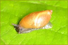river snail (2) (bobspicturebox) Tags: himalayan balsam lady bird bugs slow worm musk beetle potato capsid shield bug larva snail fungus
