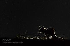 Fox (KevinBJensen) Tags: serengeti savanna grassland kenyan moon rut european bison vicious endangered mara silhouette mystery rotfuchs fuchs nacht night