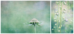 Floral Diptych (Janet_Broughton) Tags: lensbaby velvet85 texture flowers floral gardenphotography