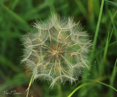 1S9A3709_1 (saundersfay) Tags: puffball dandelion seeds