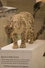 Snow leopard (quinet) Tags: 2017 canada ontario präparatoren rom royalontariomuseum toronto empaillage museum musée naturalhistory taxidermy 124