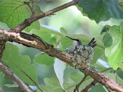 Hummingbird Nest (tracydekalb) Tags: hummingbird nest oak tree amboy greenriveroaksresort leecounty illinois bird