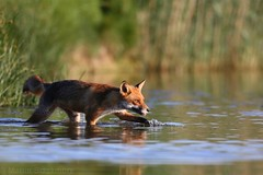 Red Fox wading 1552(6D4) (wildlifetog) Tags: red fox herseynaturereserve southeast seaview sssi isleofwight uk mbiow martin blackmore britishisles britain wild wildlife water nature canon england european eos6d renard renardroux