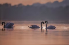 'Separation' (Jonathan Casey) Tags: swan norfolk broads whitlingham nikon d850 400mm f28 vr