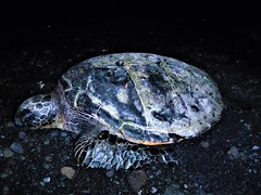 Sea creature (thomasgorman1) Tags: turtle seaturtle animal night sealife creature wildlife beach blacksand sand rocks shore island fujifilm coast ocean hawaii punuluu flash dark