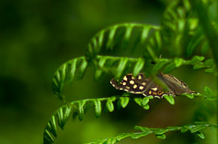 Speckled wood (Pararge aegeria) (twogoodwords) Tags: speckled wood pararge aegeria butterfly green