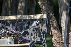 Blue Jay (Roger Daigle) Tags: birds blue jay nikon
