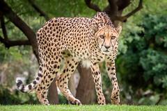 Stalking the Photographer (helenehoffman) Tags: africa cheetah acinonyxjubatus bigcat feline conservationstatusvulnerable felidae sandiegozoosafaripark nature sandiegozoo cheetahbreedingcenter safaripark carnivore mammal animal wildlife coth alittlebeauty coth5