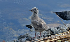 Gull chick. 🐦 (L.Lahtinen (nature photography)) Tags: finland summer lake chick gull majutvesi