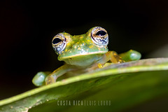 Spotted Glass Frog (Luís Louro) Tags: frogs forest costarica closeup centralamerica wildlife wildlifephotography nature nikon animals amphibian anuran louro