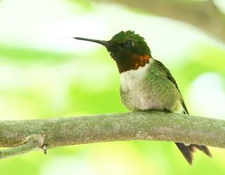 Hummingbird-126w