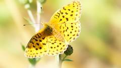 Yellow butterfly (ΨᗩSᗰIᘉᗴ HᗴᘉS +18 000 000 thx) Tags: butterfly yellow insect macro fauna faune papillon 7dwf hensyasmine namur belgium europa aaa namuroise look photo friends be wow yasminehens interest intersting eu fr greatphotographers lanamuroise tellmeastory flickering