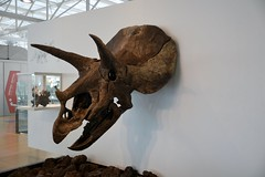 CRANI DE TRICERATOPS HORRIDUS - COSMOCAIXA (MUSEU DE LA CIÈNCIA) (Yeagov_Cat) Tags: 2018 barcelona catalunya cosmocaixa museudelaciència cranidetriceratopshorridus horridus crani triceratopshorridus triceratops animal dinosaure ranxodeswanke dakotadelnord estatsunits cretacisuperior