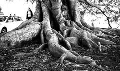 9 july 2018 - photo a day (slava eremin) Tags: 365 1day photoaday dailyphoto treeroots srteet auckland nz newzealand