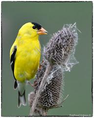 American Gold Finch (RKop) Tags: d500 nikkor600f4evr 14xtciii raphaelkopanphotography armlederpark cincinnati ohio wildlife