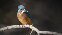 martín pescador (alcedo atthis) (Hanexux) Tags: kingfisher martínpescador