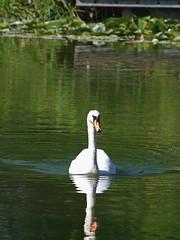 1489-09L (Lozarithm) Tags: caenhill devizes wilts swans k5 pentax sigma zoom 70300 sigmaaf70300mmf456apodgmacro