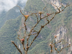 Machu Picchu Tree (Skoda Girl) Tags: machu picchu peru south america andes mountains mountain tree trees high clouds mist rocks rocky crag branches landscape nature buds leaves leaf wild plant inca moss