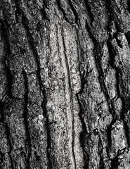 Oak Detail (CactusD) Tags: blackandwhite monochrome bw black white linhof technikardan tks45 5x4 4x5 largeformat large format movements film architecture texture textures uk greatbritain great britain unitedkingdom united kingdom england oxfordshire greatcoxwellbarn coxwell barn oak wood details ilford delta100 nikon d800e 85pce 85mmf28pce micro digitized schneider schneiderkreuznachaposymmarmc150mmf56 f56 150mm f28 85mm tree trees