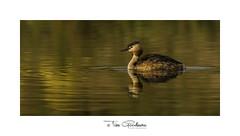 Majestic Grebe riding molten copper waters. (timgoodacre) Tags: greatcrestedgrebe bird birds waterbird wildlife water grebe nature ngc wildbird wildfowl