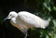 Egret (Nina_Ali) Tags: twycrosszoo avian nature egret