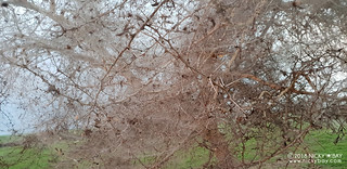 Tree covered with spider silk - 20180528_170922