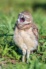 Bored With It All  ;-) (TNWA Photography (Debbie Tubridy)) Tags: burrowingowl burrowingowlbaby owlet young owl raptor birdofprey athenecunicularia nature wildlife yawn expressive learning sleepy activity behavior openbeak downyfeathers natural habitat environment wild spring burrow grasses tired relaxing outdoors sunny debbietubridy tnwaphotography