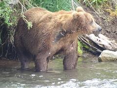 DSC07581 (jrucker94) Tags: alaska katmai katmainationalpark nationalpark bear bears grizzly grizzlybear brooksriver nature outdoors