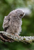 One great Photography Day (eric-d at gmx.net) Tags: littleowl steinkauz rohrweihe grünspecht turmfalke falke eule waldohreule asiootus athenenoctua eric wildlife