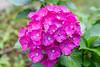 Hydrangea (shinichiro*) Tags: 20180618sdim3786 2018 crazyshin sigmasdquattroh sdqh sigma1770mmf284dcmacrohsm june summer flower macro ajisai kawasaki kanagawa japan jp 紫陽花