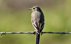 Juvenile Pied Wagtail (42jph) Tags: nikon d7200 uk england northumberland druridge pools wildlife nature bird pied wagtail sigma 150500