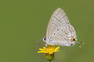 Oriental Forget-me-not - Catochrysops strabo