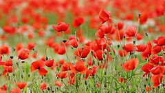 L'armata rossa (_Nick Outdoor Photography_) Tags: papaveri reds fioritura primavera estate bokeh exif300mmf56iso2001500 poppiesblooming flowering calicirossi fioripetalosi 1 selectivefocus