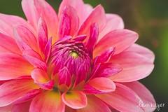 3K7A3850_edited-1 (crazydawn2) Tags: flower pink longwood gardens