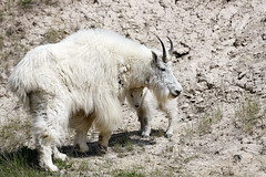 Mountain Goats (Walcher Franz) Tags: canada parkscanada parks park wildlife alberta animals animal icefield parkway