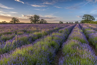 *Somerset lavender at sunrise*