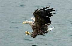 White Tailed Sea Eagle. (farrertracy) Tags: whitetailedseaeagle mull scotland ocean blue summer eagle flight