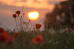 Fat Old Sun (Julian Barker) Tags: great wilne shardlow derbyshire poppy poppies field sun sunset dusk rural countryside grasses summer flowers flora fat old orb julian barker canon dslr mkii 5d england east midlands britain uk europe