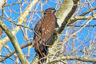 Bald Eagle Juvenile 18-0220-5719