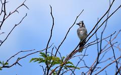 young jay (Mark.Swanson) Tags: bluejay cyanocittacristata buffalotraceprairie lakeofthewoods forestpreserve mahomet illinois champaigncounty